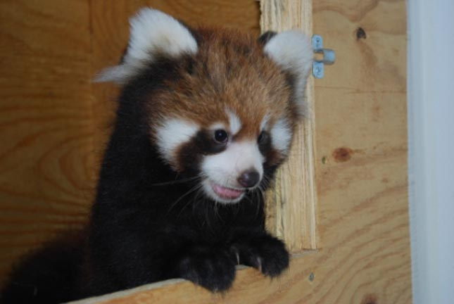 Red Pandas at Red River Zoo