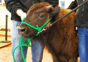 Corso the baby Bison anxiously awaiting his big debut